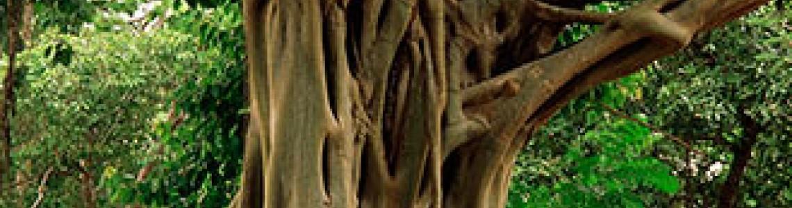 Bohdi Tree - Το Άγιο Δέντρο (FicusReligiosa) Οδηγίες Καλλιέργειας Σπόρων