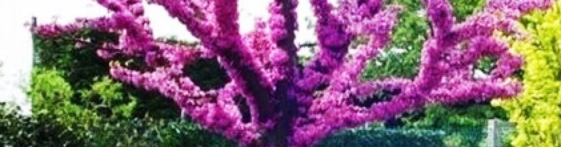 Κουτσουπιά Δέντρο του Ιούδα Οδηγίες Καλλιέργειας Σπόρων