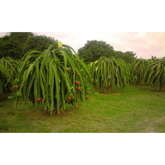 Εξωτικό φρούτο του δράκου Πιτάγια (Pitaya) – 15 Σπόροι