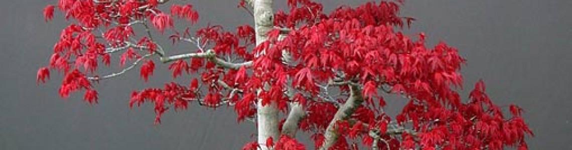 Κόκκινο Πλατάνι (AcerPalmatum) Οδηγίες Καλλιέργειας Σπόρων