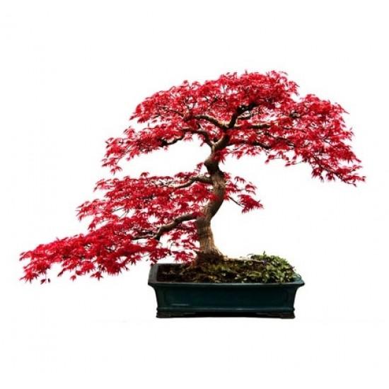 Ιαπωνικό Πλατάνι Κόκκινο σφενδάμι 10 σπόροι / μπονσαι (Acer Palmatum)