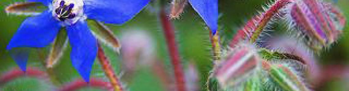 Μποράντζα/Βοϊδόγλωσσα Οδηγίες Καλλιέργειας Σπόρων