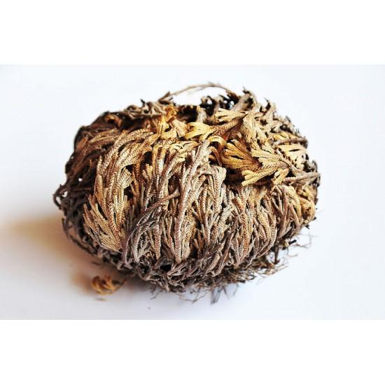 Το Ρόδο Της Ιεριχούς/ερήμου - Απίστευτο Αθάνατο Φυτό που Ανασταίνεται! 1τεμ