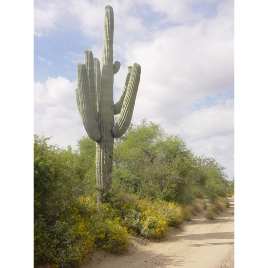 Saguaro/Σαγκουάρο Κάκτος/Cactus 10 Σπόροι (Carnegeia Gigantea)
