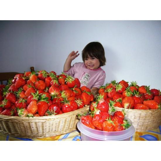 Φράουλα γίγας 40 Σπόροι